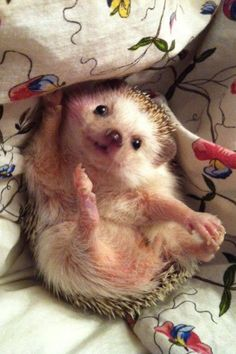 A baby hedgehog . The Animals, Cute Little Animals, Happy Animals, My Animal, Funny Animals, Hedgehog Pet, Cute Hedgehog, Happy Hedgehog, Little Critter