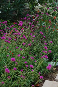 non-secateur: Plant of the week: Gomphrena 'Fireworks'