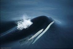 Killer whale at Langara Island by Langara Fishing Adventures