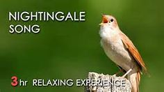 Nightingale - Page Not Found - Yahoo Image Search results