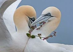 a pair of gannets and a garland