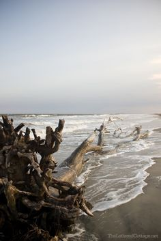 Whole tree trunks are now driftwood at our beach -Hunting Island SC State Park - Beaufort SC Ocean Beach, Ocean Waves, Beach Wood, Driftwood Beach, Parasols, Cottages By The Sea, I Love The Beach, Am Meer, Beautiful Beaches