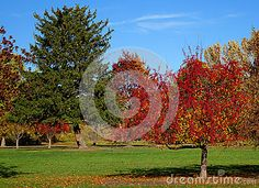 Crab apple trees turn a brilliant shade of red during the autumn in a Boise city park, Idaho. ©Photo copyright by Marty Nelson. Photographer website: http://www.dreamstime.com/uploads