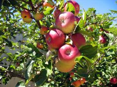 Pink Lady Apple Tree - Southern Apple Trees   Standard Apple Trees   Apple-Specialty Trees - Willis Orchard Company