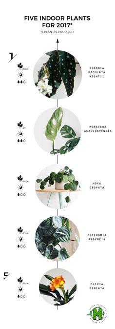 5 indoor plants Begonia Maculata Wightii Monstera…