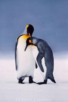 Frans Lanting - King penguins courting, Aptenodytes patagonicus, South Georgia Island