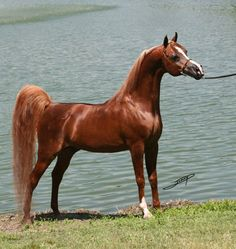 LEGACY OF GOLD (Alada Baskin x Khatar Firember) 1990 chestnut stallion