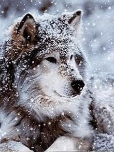 A dedication to wolves and the hope that one day they'll again be understood and respected. Stand up for what you believe in, even if it means that sometimes you'll stand alone. Fight for those who cannot fight for themselves, and be the voice of those who cannot speak.    by Heart of A Wolf ♥