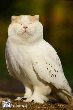 Meowl – L'étrange croisement du Chat et du Hibou…
