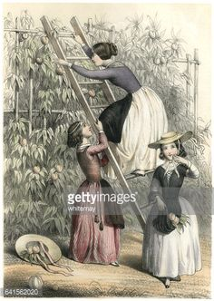 Stock Illustration : Young 19th century French girls picking apricots