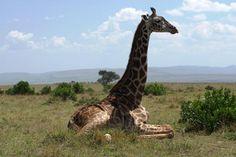 A fantastic sighting in Kenya safaris. http://www.natural-track.com/