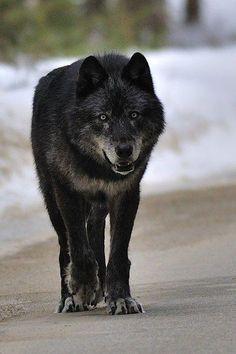 Wolf by Schpakowski deviantart Wolf Photos, Wolf Pictures, Animal Pictures, Beautiful Creatures, Animals Beautiful, Cute Animals, Wild Animals, Baby Animals, Tier Wolf