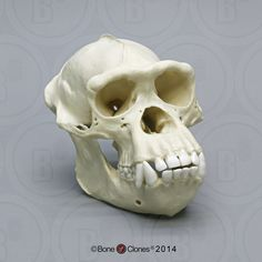 Adult Male Chimpanzee Skull - Bone Clones, Inc. - Osteological Reproductions