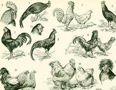 1897 Races de Coqs Poules Volaille Basse cour illustration originale Larousse 115 ANS D'AGE