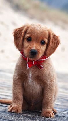This is the type of puppy that would get so tired of me harassing him/her. Cayooooote!