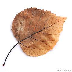 Dried leaf.