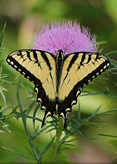 Swallowtail Butterfly by John Ohm