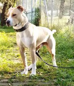 Richi, AmStaff Mix, 6 Jahre, verträglich, Hundesport