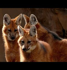 Asiatic wild dog The dhole