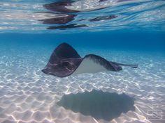 A Southern Atlantic Stingray swimming at Stingray sandbar Cayman