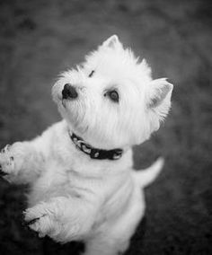 A little like an old poodle-terrier pal of mine.
