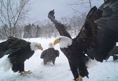 Picture of Eagles taken by Larry Dolhof in his backyard in Lyons Falls, NY.