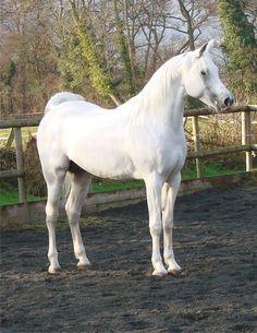Goudah Arabian Stallion