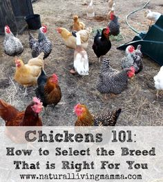 Chickens 101- How to Select the Breed That is Right For You - Natural Living Mamma