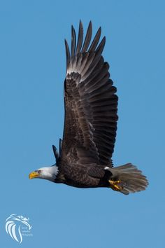 RGL_Photography posted a photo:  American Bald Eagles of Conowingo  The Bald Eagles at Conowingo Dam are world famous. The Eagle population remains year round, and the location is shared with Great Blue Herons, Double-Crested Cormorants, and many other birds and Wildlife.  Conowingo Dam  The Conowingo Dam (also Conowingo Hydroelectric Plant, Conowingo Hydroelectric Station) is a large hydroelectric dam in the lower Susquehanna River near the town of Conowingo, Maryland. The medium-height…