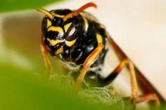 Paper wasp macro