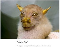 Yoda bat, interesting nose