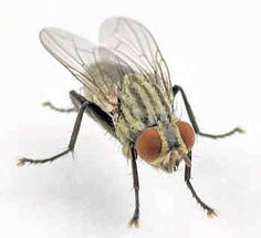 How to get rid of flesh flies and stop further infestations Get Rid Of Flies, How To Get Rid, Bugs, Butterflies, Empire, Portraits, Outdoors, Nature, Insects