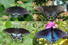 Dark Swallowtail butterfly identification