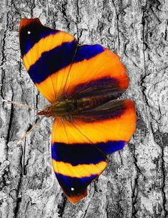 Beautiful Bugs, Beautiful Butterflies, Amazing Nature, Butterfly Kisses, Butterfly Art, Beautiful Creatures, Animals Beautiful, Colorful Moths, Moth Caterpillar