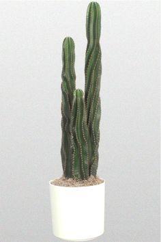 Peruvian Apple Cactus                                                                                                                                                      More