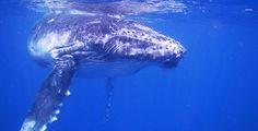 Baby Whale - zwemmen met walvissen (bultrug) op Tonga is echt zó bijzonder!