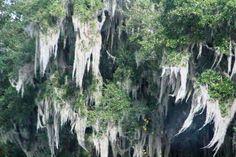 Spanish Moss - Florida USA