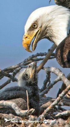 Aigle chauve // Bald Eagle -