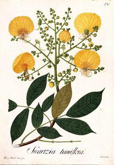 Swartzia ramiflora. Real Expedición Botánica del Nuevo Reino de Granada (1783-1816), José Celestino Mutis