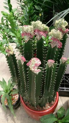 Grafted crested and  variegated Euphorbia lactea  group