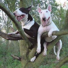 Bull terriers de árbol ...