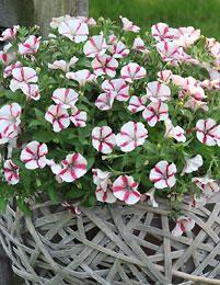 Petunia Peppy White - Viherpeukalot