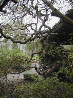 Twisted Tree, Bodnant Garden
