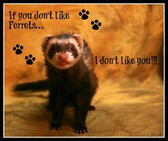 If you don't like Ferrets... I don't like you!!!