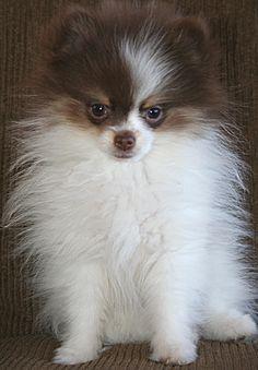 my Bella when she was a pup.  A parti-pomeranian