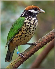 The white-eared catbird (Ailuroedus buccoides) is a medium-sized passerine found in the tropical and sub-tropical dry forests of Papua (Indonesia), Papua New Guinea and some nearby islands. The to 25 cm long bird is on top green colored, and the chest and abdomen are pale yellow-brown with black spots. The cheeks are white and the cap is black or dark brown. Adult catbirds subsist primarily on fruit, but will take the nestlings of other species on rare occasions; chicks are mostly fed…