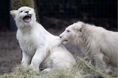 Dois raros filhotes de leão branco brincam entre si no zoológico de Ouwehands em Rhenen, Holanda