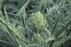 Best detox herbs for your liver! Edible Plants, Edible Flowers, Edible Garden, Artichoke Plants, Artichoke Flower, Best Detox Diet, Detox Diet Plan, Growing Artichokes, Vegetable Gardening
