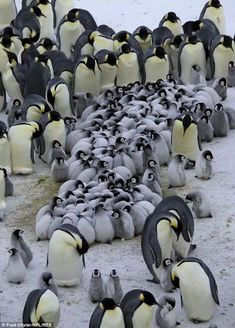 Emperor Penguin - parental devotion grown-up penguins The Animals, Nature Animals, Baby Animals, Beautiful Birds, Animals Beautiful, Penguin Love, Penguin Craft, Wale, Baby Penguins
