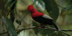 "Bird in the Amazon Rainforest, Ecuador. See at Eco lodge ""Mashpi"", Quito Rainforest Lodge. #Bird #AmazonRainforest"